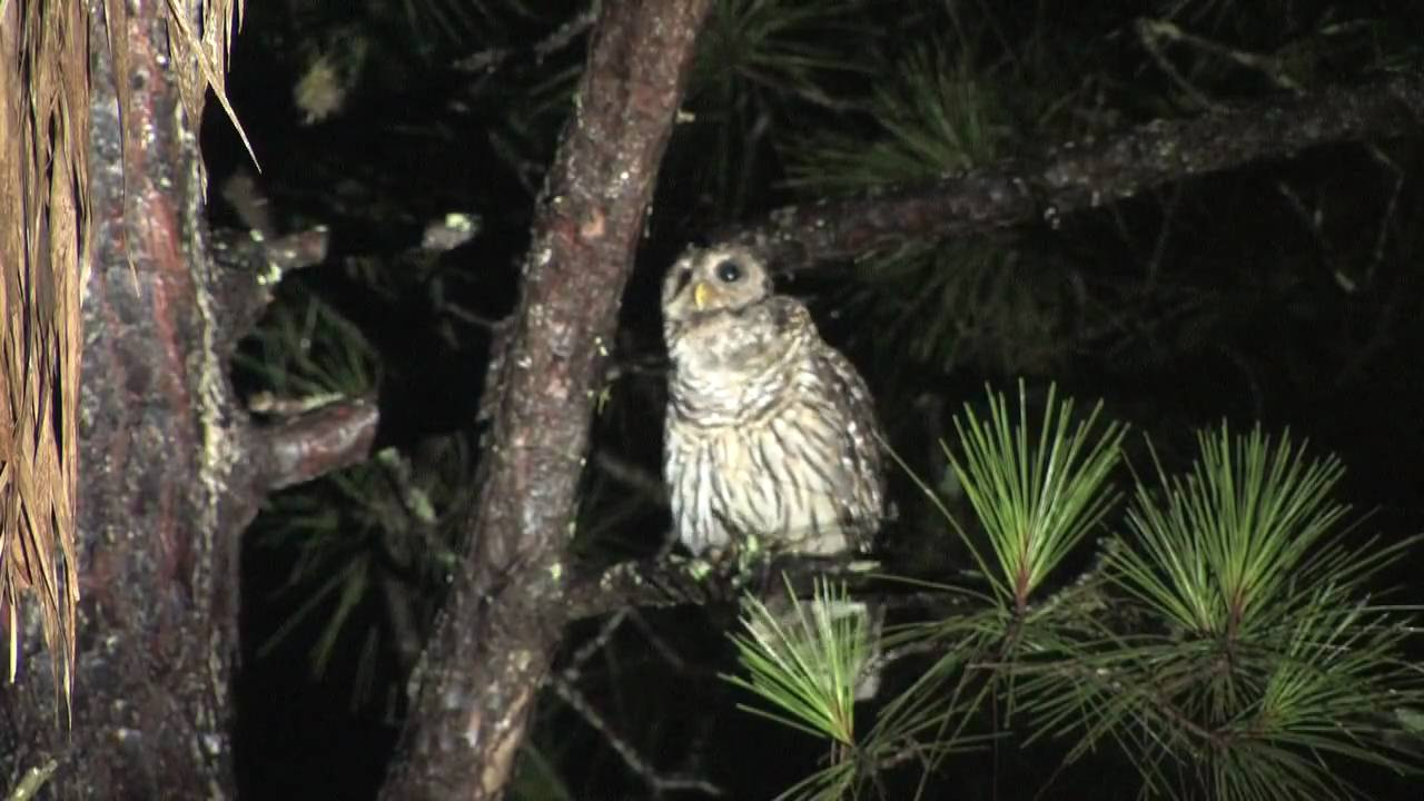 Giant Owl Talking To A Barred Owl Call Youtube