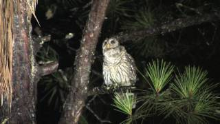GIANT OWL Talking to a Barred Owl Call thumbnail