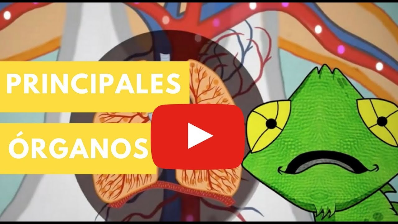 Cuerpo humano: Principales órganos | Camaleón y las naturales ...