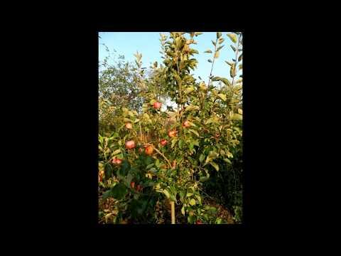 Арріва  - швейцарский имунный сорт яблок