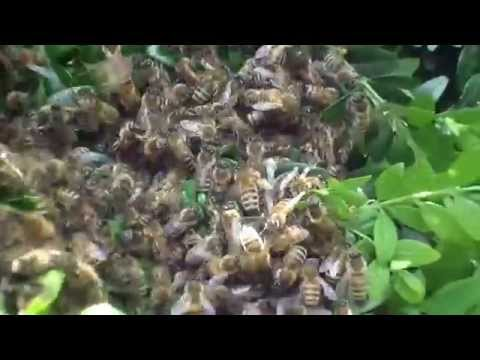 Swarms of Bees Fly to Rutland