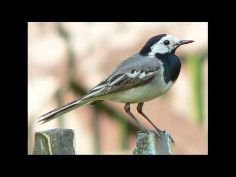 Paukščių balsai parsisiusti