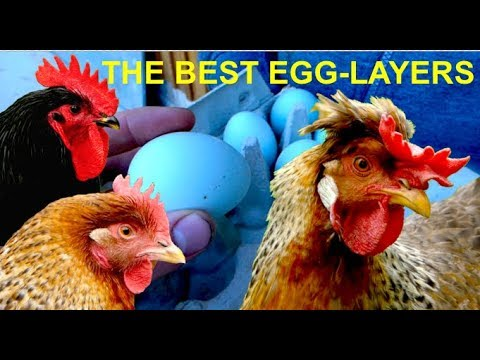 Top10 Best Egg-Layers of all CHICKEN BREEDS with Cream Legbar, Marans, Araucana, Leghorn eggs