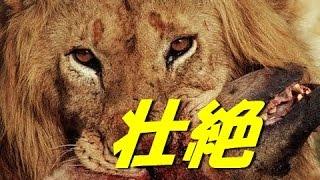 ハイエナVsライオン 生死を分ける対決 【衝撃映像】 【関連動画】 【動...