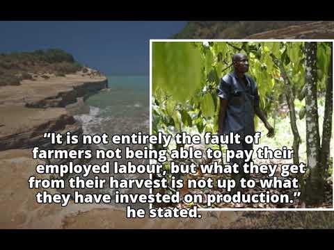 Facing low yields, cocoa farmers urge interventionFacing low yields, cocoa farmers urge intervention