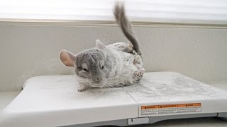 Trained Chinchilla does the Wii FIT!!