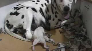 Dalmata Kiskutyák Születése - Dalmatians Puppy Born.