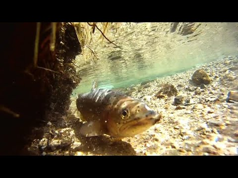 New effort to save Colorado's rainbow trout