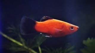 Platy Fish Care & Tank Set up Guide