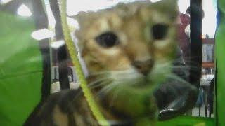 Бенгальские кошки, Молодые Бенгалы, Породы кошек