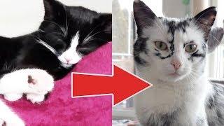 Черная кошка стала белеть и стала почти полностью белой, оказывается это витилиго