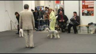 Bedlington Terriers On World Dog Show 2009, Part 2