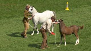 Merlod Mynydd Cymreig Ebol | Welsh Mountain Ponies Foal