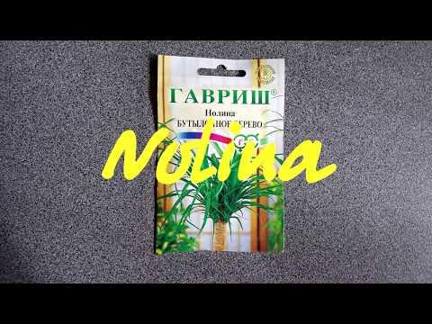Бутылочное дерево/ Выращиваю из семян/ Nolina/ Появились первые всходы