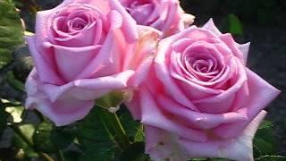 видео Чайно-гибридные розы : Саженцы розы сорт Paradise, Парадайз