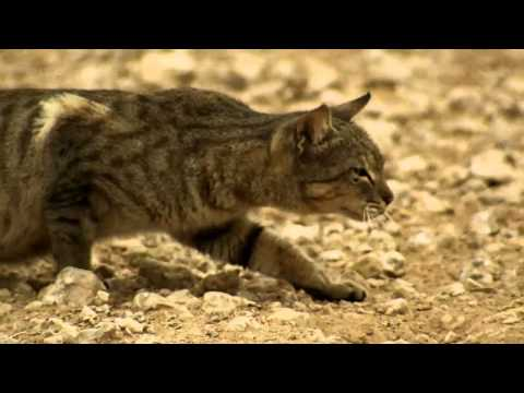 Thumbnail: A feral cat hunts birds