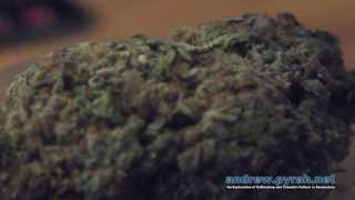 Dara from Devils Harvest talks Rollex OG, Shoreline, Veganics & more - 2013 Cannabis Cup Amsterdam