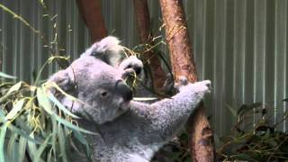 Australia - Koala Yum Yum