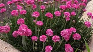 видео Армерия приморская - выращивание из семян в саду