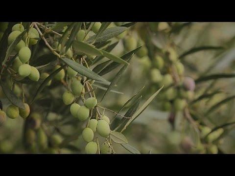 Campagna olearia: quanto rende un quintale di olive ...