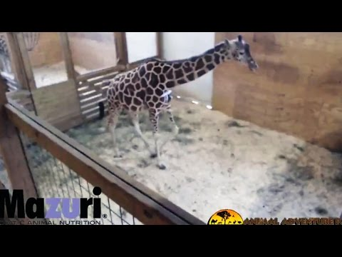 Thumbnail: FINALLY! April the Giraffe Gives Birth!!