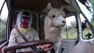 実はくるま好き!?ドライブを楽しむアルパカさん♪