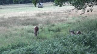 Jagd, Erlegung Rotschmalspiesser