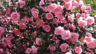 красивая музыка и цветы для души