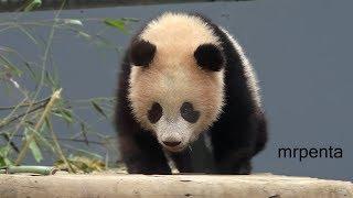 今日のシャンシャン お庭の台から上手に降りる 2月21日 上野動物園 香香 パンダ thumbnail