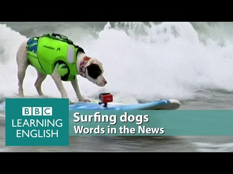 Surfing dogs. Learn: top dog, life jackets, eager, balance, guarantee