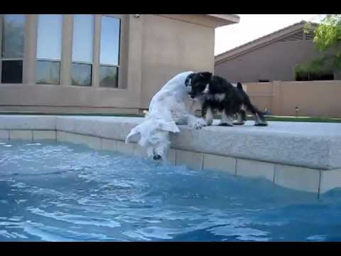 Boo the white schnauzer has a new little brother learning pool bubbles!  Jazz by Sherry Petta