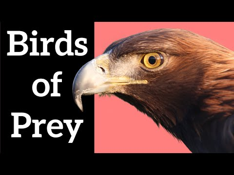 Birds Of Prey - Full Wildlife Documentary 2019