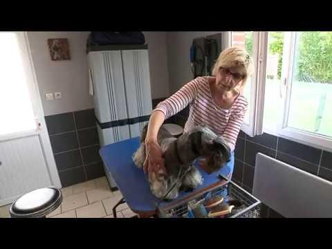 Affringues, connaissez-vous le Cesky Terrier, une des races de chien les plus rares du monde ?