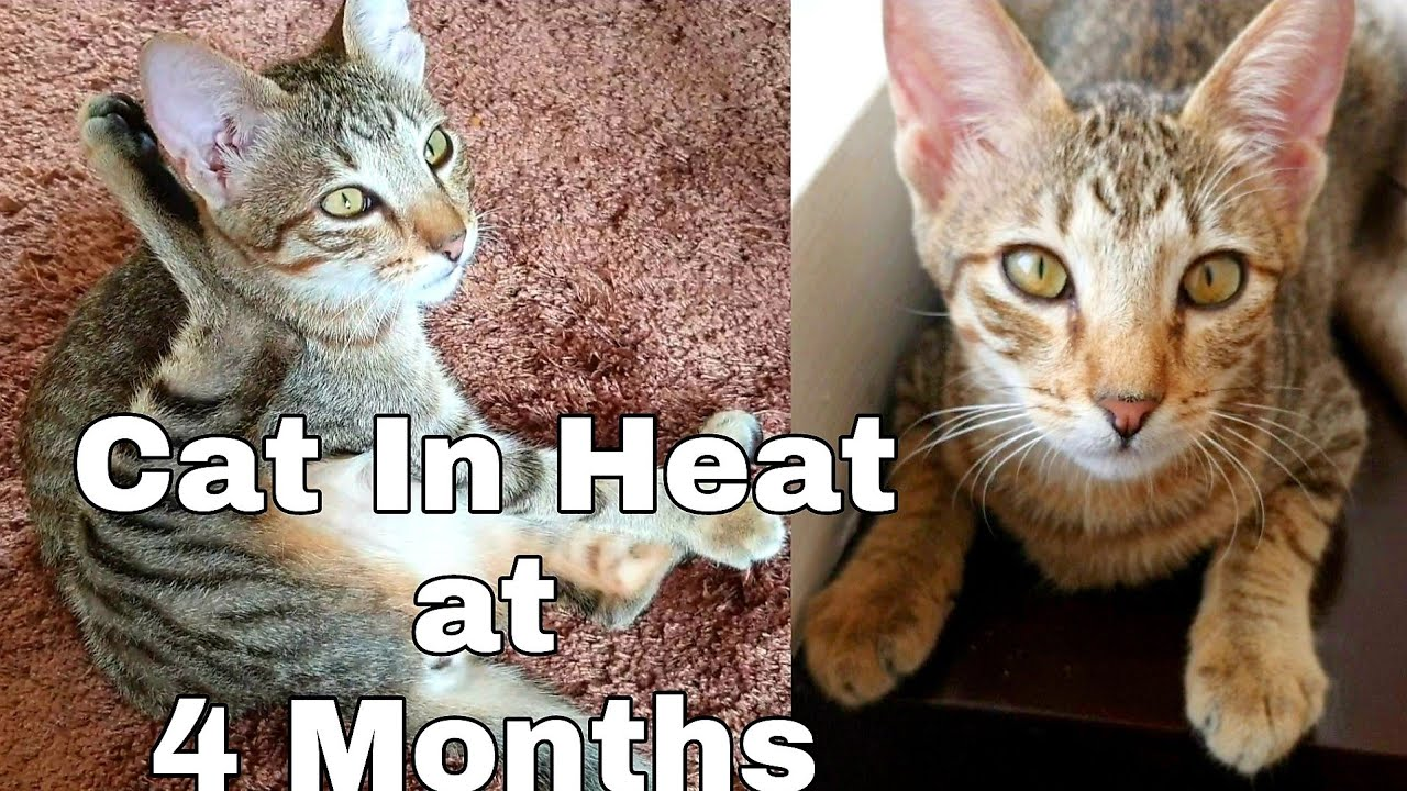 Cat In Heat Signs And Symptoms 4 Months Old Catslifeph Youtube