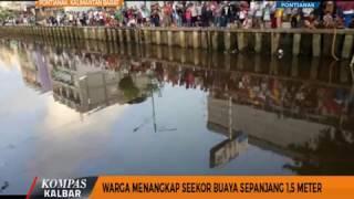 Warga Menangkap Seekor Buaya Sepanjang 1,5 Meter - Kompas TV Pontianak