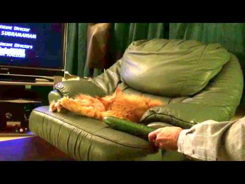 Maine Coon cat scared by cucumber