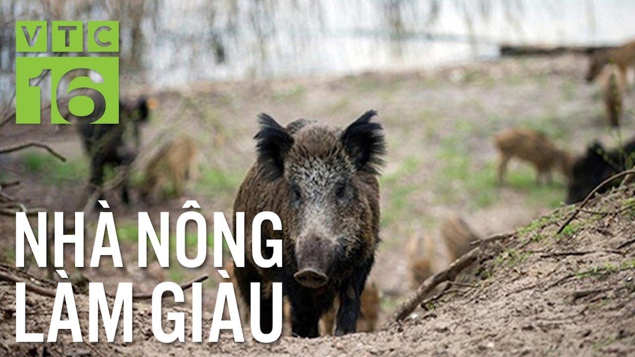 Kỳ quặc cách ép lợn rừng dũi đất, chạy bộ trên đồi | VTC16