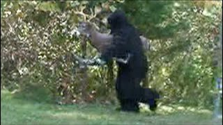 BOW HUNTING BIGFOOT CAUGHT ON VIDEO