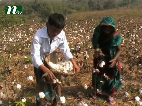 Cotton will be cultivated with paddy | News & Current Affairs