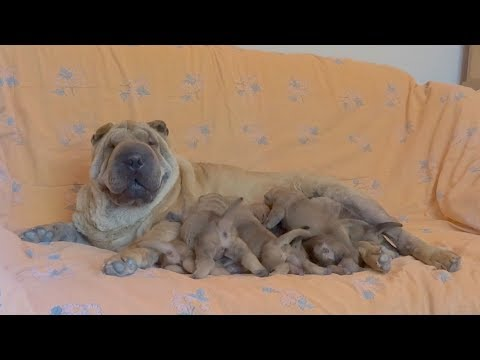Luna the Shar Pei Feeding her One Week Old Puppies