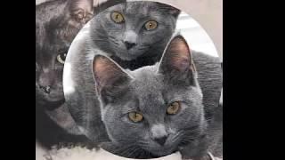 Корат!!))О уходе, характере кошки вы можете узнать в описании))!!