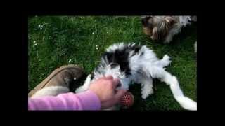 Biewer-yorkshire-terrier Hündin (15. Wo. Alt)