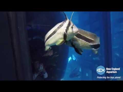 Jackknife Fish In The Giant Ocean Tank