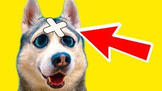 МНЕ ПРОКУСИЛИ ГОЛОВУ!! (Хаски Бандит) Говорящая собака