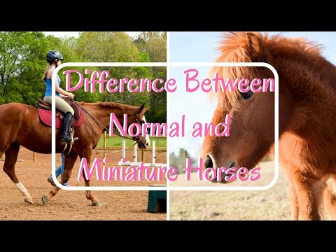Difference Between Normal And Miniature Horses