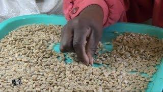 Jamaica Blue Mountain Coffee, Learn About Alex Twyman's Old Tavern Coffee Estate