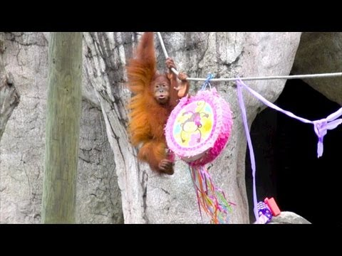 Menari the Sumatran orangutan turns 4 at Audubon Zoo!