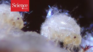 Snippet: Aphids repair their home with their own bodily fluids