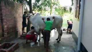 Big Cow Qurbani Bangladesh-2014, Part-5