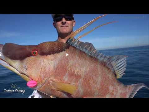 Big Hogfish And Monster Mangrove Snapper In 60-feet